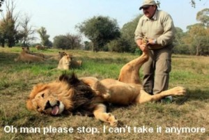 funny-lion-getting-a-foot-massage-445x299